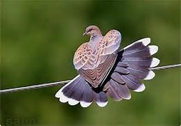Burung Merpati Hias