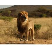 Wallpapers Male Lion