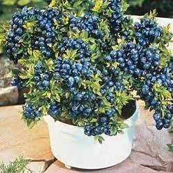 top hat blueberry patio kit blueberries blueberry bushes and top hats on