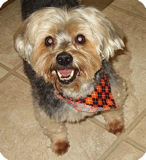 yorkies for adoption in nc best 25 terrier rescue ideas on yorkie puppies yorkie and