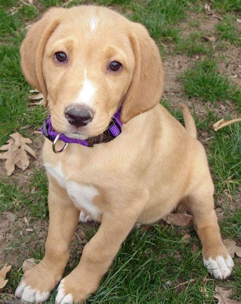 lab hound mix puppies lab bloodhound mix puppies breeds picture