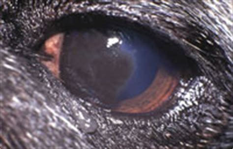 entropion in pugs disorders in brachycephalic dogs