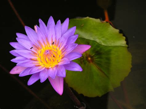 purple flower wallpaper uk purple lotus flower flower hd wallpapers images
