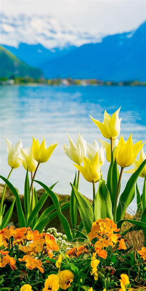 Geneva Flowers 2 yellow white flowers on lake geneva with swiss alps