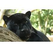 Black Panther By Bruce McAdamjpg  Wikimedia Commons