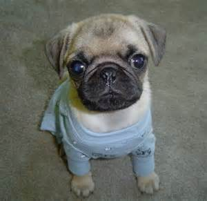 cute-<strong>pug</strong>-puppies-5.jpg