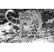 The Snow Leopard  Save Nature Human