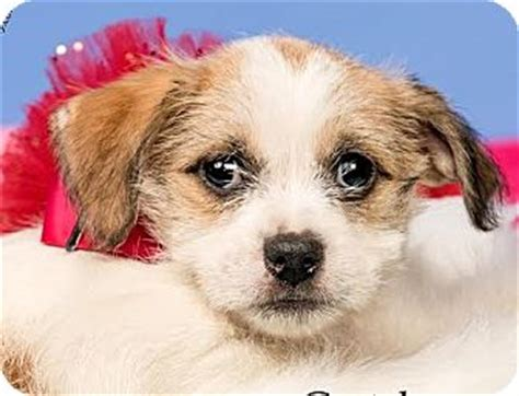 shih tzu and husky mix gretchen adopted puppy cincinnati oh shih tzu siberian husky mix