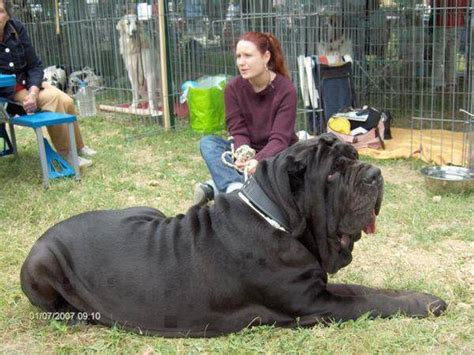 large dogs the world s best photos of really big dogs