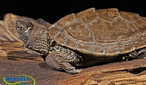 texas map turtle care mississippi map turtles care sheet reptiles by mack