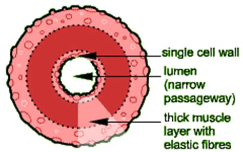cross section of an artery ch19 general terms
