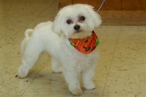 boy maltese haircuts maltese puppy cut