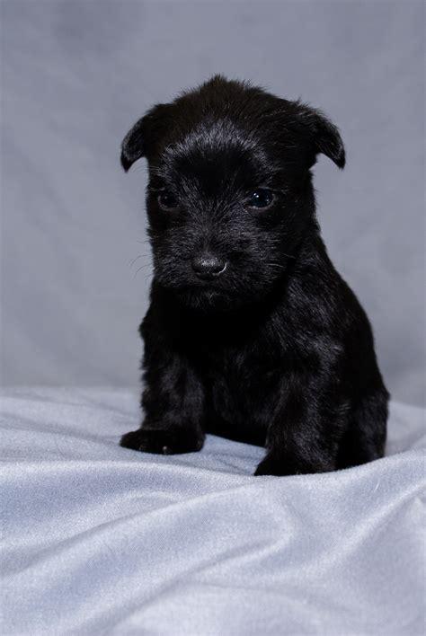 black yorkie mix black schnauzer yorkie pup by the drop