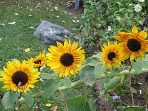 fiori di girasole significato girasole linguaggio dei fiori fiori di