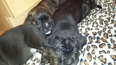 corso mastiff puppies corso italian mastiff puppies edinburgh midlothian pets4homes