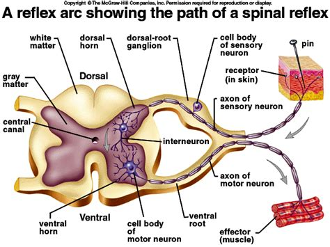 spinal reflex diagram the spinal cord the spinal cord spinal nerves and somatic