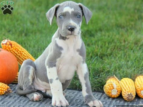 great dane puppies for sale in pa 93 best puppies for sale images on puppies baby puppies and doggies