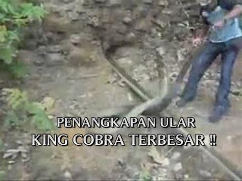 film siluman ular cobra ular son elaegypt