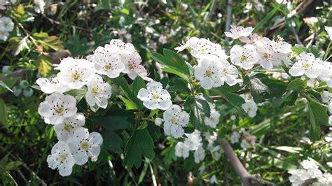 biancospino fiori biancospino coltivafacile it