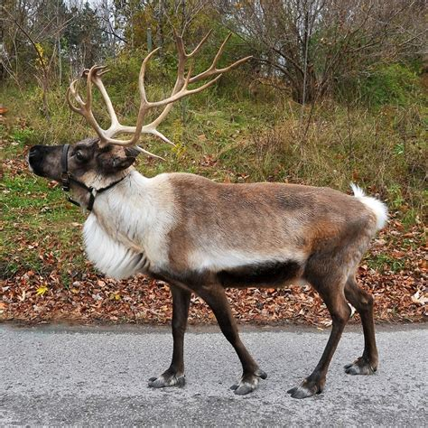 google images reindeer 147 best reindeer images on pinterest deer reindeer and