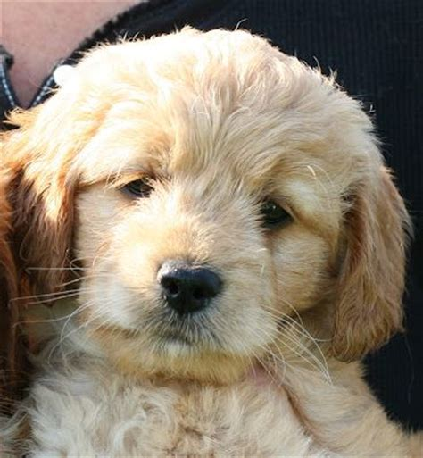 mini goldendoodles ebay these mini goldendoodles are the most precious dogs you ll