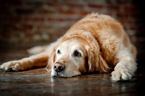 what age is considered a puppy caring for senior dogs important things about s special needs