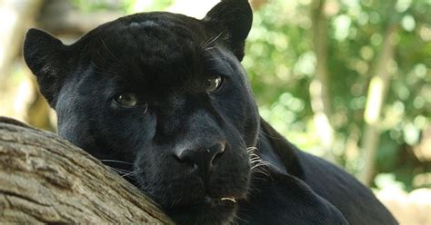 Living Alongside Wildlife So You Say You Saw A Black Black Panther Images