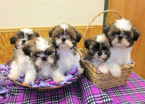 happy grove shih tzu available puppies adults