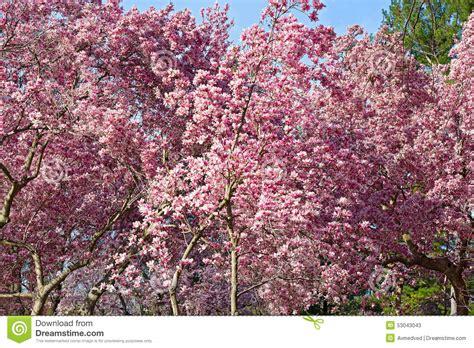 blossoming dogwood trees near national mall in washington dc stock photo image 53043043