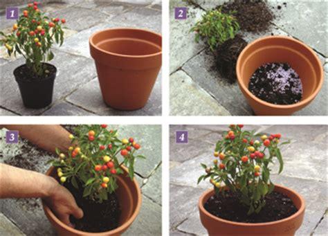 come coltivare il peperoncino in vaso coltivare il peperoncino fai da te in giardino