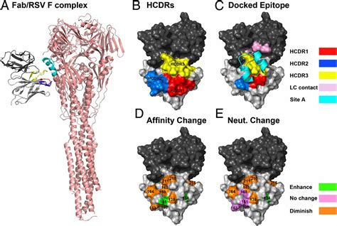 rsv f protein reversion of somatic mutations of the respiratory
