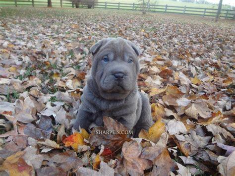 grey shar pei puppy grey shar pei puppies for sale