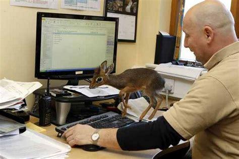Office Zoo Chester Zoo S Tiny New Arrival Aluna The Dik Dik Is