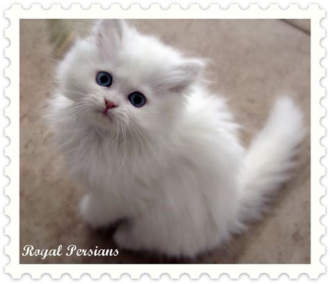 Persian Cats In Orlando My Persian Kittens Persian | white persian cat pdxrbiet animal online