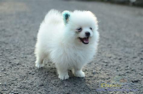 Pom Pom Warna Cur 15mm dunia anjing jual anjing pomeranian mini pom broken white