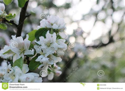 flowering apple tree with bright white flowers stock photo