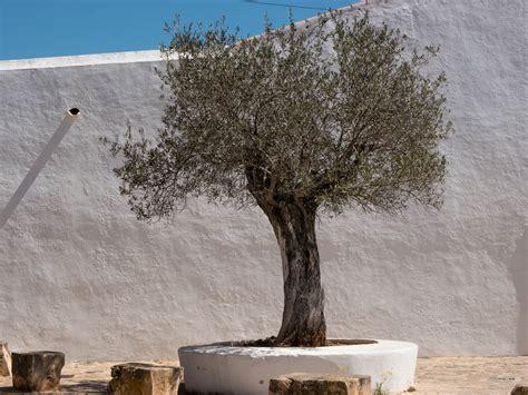 olivenbaum im garten olivenbaum pflanzen so gelingt die auspflanzung in