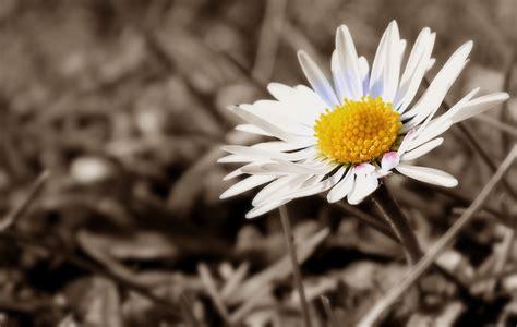 fiori bianco e nero immagini natura bianco e nero foglia