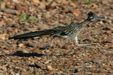 file roadrunner running jpg wikimedia commons