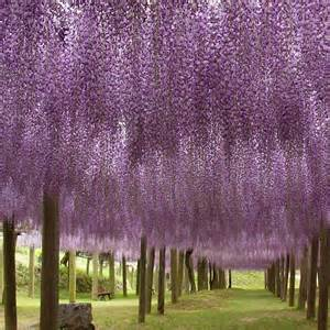 wisteria flower tunnel in japan wisteria beauandarrowevents