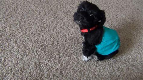 gizmo s guide to tricks a terrier shares secrets books gizmo the morkie puppy funnydog tv