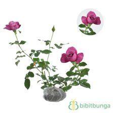 Bibit Kantil Cempaka Merah Ungu Langka tanaman cempaka merah magnolia liliiflora bibitbunga