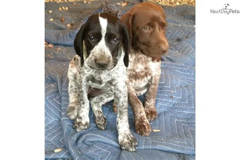 german shorthaired pointer puppies for sale oregon black akc german shorthaired pointer pups german shorthaired pointer breeds picture
