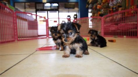 teacup yorkie for sale atlanta ga teacup terrier puppies for sale in atlanta at puppies