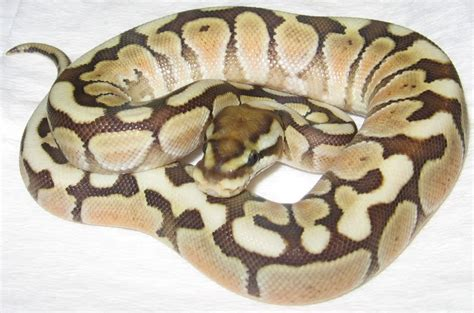 Ball Python Giveaway 2017 - woma lesser platinum http pictures images photos photobucket