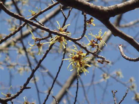 hamamelis japonica siebold et zuccarini var obtusata matsumura