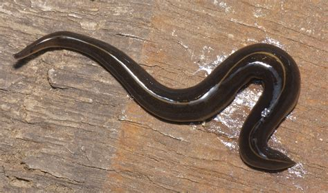 flat worms in the invasive new guinea flatworm platydemus manokwari in the record for