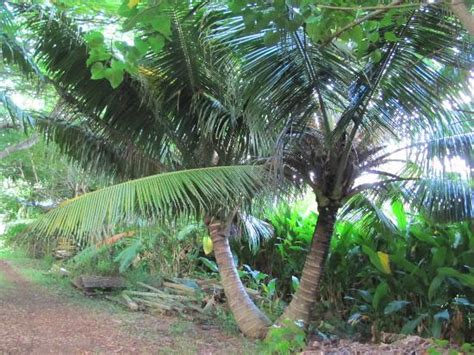 Nui Botanical Gardens by More Coconut Trees Picture Of Maire Nui Botanical