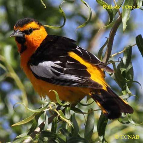 bullock s oriole north american birds birds of north