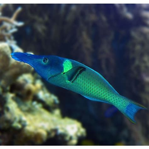 green bird wrasse green bird wrasse gomphosus caeruleus animals i love